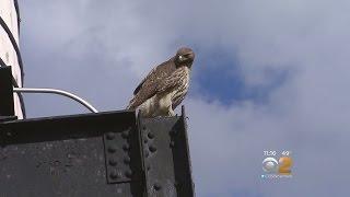 Download Hawk Attacks Dog On UWS Video