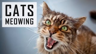 Download 10 CATS MEOWING | Make your Cat or Dog Go Crazy! HD Sound Effect Video