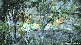 Download Wild Africa lion at Hyena den 23-2 Video