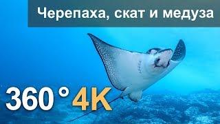Download 360°, Дайвинг с черепахой, скатом и медузой. 4К подводное видео. Русская озвучка Video