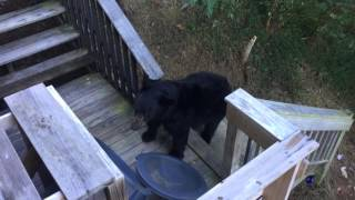Download Bear at Cabin in Gatlinburg, TN Video