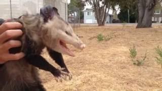 Download Wild Opossum Playing Dead (Fremont, California) Video
