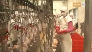 Download Pollo TIF, pollo sano, pollo mexicano Video