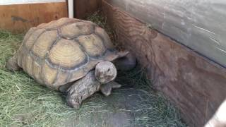 Download Outdoor DIY Sulcata Tortoise Housing In Cooler Climates Video