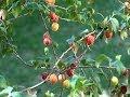 Download Como fazer mudas de pitanga, Frutíferas, Eugenia uniflora, Comida de passarinho, Video