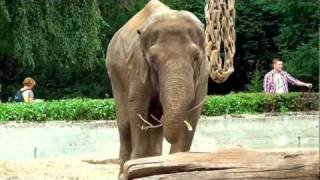 Download Elephants in Wroclaw Zoo Słonie Video