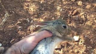 Download Un cazador graba un conejo justo antes de su muerte Video