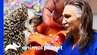 Download Tali The Hedgehog Gets A Cancerous Tumor Removed   Dr. Jeff: Rocky Mountain Vet Video