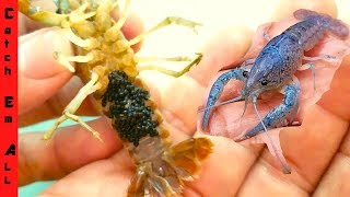 Download BLUE LOBSTER has BABIES! Video