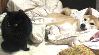 Download とある日の柴犬。甘えてはしゃいで怒られる Too excited shibainu made cat angry Video