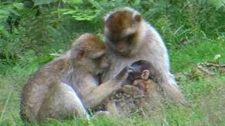 Download Barbary Macaques Video