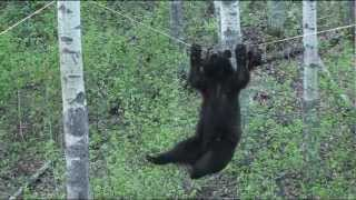 Download Black Bear Attempts Walking Across a Rope For A Bite Of This Tasty Beaver Treat Video