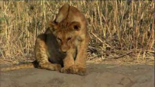 Download The Story of Junior - The Paralyzed Lion Cub - HD 1080p Video