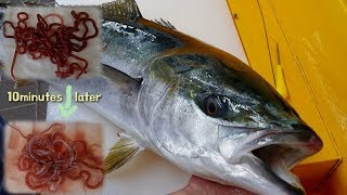 Download Worm parasites in Fish (Yellowtail)? Water more powerful than anthelmintics Video