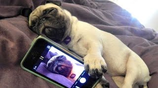Download Funny Dogs but only Pug Videos | Pug Compilation 4 - InstaPugs Video