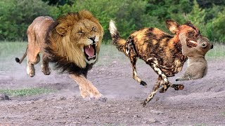 Download Mother Lion Save Lion Cubs From 10 Wild Dogs - Epic battle! Wild Dogs vs Lion Video