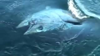 Download Super giant Tuna 400 kg || The biggest tuna in the worlds Video
