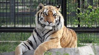 Download Мои друзья - тигры. Сафари парк львов ″Тайган″ Video