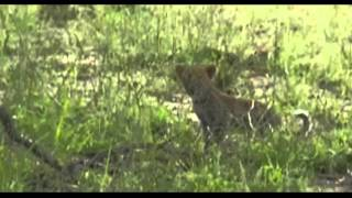 Download Karula Calls Her Cubs to a Sighting April 9, 2016 Video