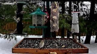 Download Droves of Redpolls Interrupted by Pine Grosbeak – Jan. 23, 2017 Video