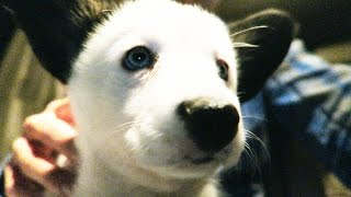 Download My Sister Gets a Baby Corgi ! Video
