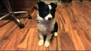 Download Mia Border Collie Puppy Training Video