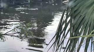 Download Alligator Swamp and Spoonbills Cam 08-26-2018 12:27:34 - 13:27:35 Video