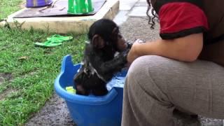 Download Baby Chimp Bathtime Video