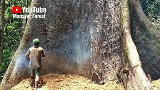 Download Sebelum Pohon Raksasa Ini Ditebang, Ada Sosok-Sosok Bergelantungan Di Akar Video