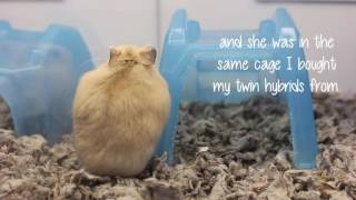 Download Adorable Hybrid Hamster at Petco Video