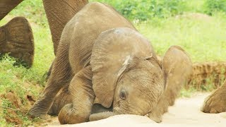 Download Baby Elephants are So Clumsy! | First Year on Earth | BBC Earth Video