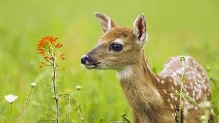 Download The Private Life of Deer - Amazing Nature Documentary (HD) Video
