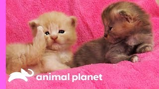 Download Curious Calico Kittens Explore Their Dog Grooming Salon | Too Cute! Video
