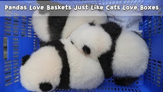 Download Pandas Love Baskets Just Like Cats Love Boxes | iPanda Video