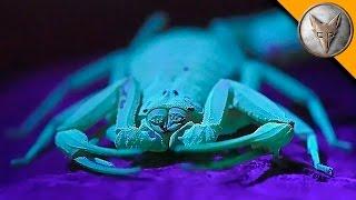 Download The Deadliest Scorpion in America! (Part 1) Video