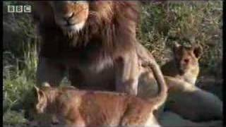 Download A lion pride - introducing daddy to the cubs - BBC wildlife Video