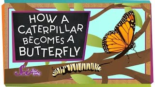 Download How a Caterpillar Becomes a Butterfly Video