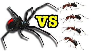 Download Killer Spider Vs Killer Ants The Ultimate Bug Battle 🕷 😵 🐜 Video
