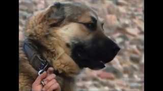 Download Кыргыз добот! Горные волкодавы! Video