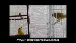 Download Canário da terra FALCÃO PRATEADO.wmv Video