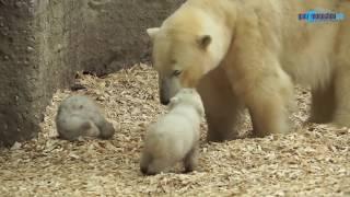 Download Münchner Eisbärenbabys - der 1. Ausflug @ Tierpark Hellabrunn am 19.03.2014 Video