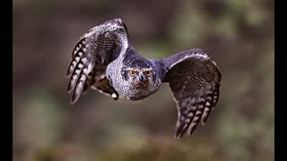 Download Hunting with Goshawks Video