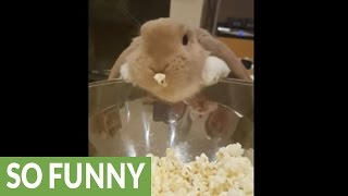 Download Bunny's new favorite treat is popcorn Video