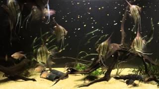 Download WC Rio Inirida Altum Angelfish Video