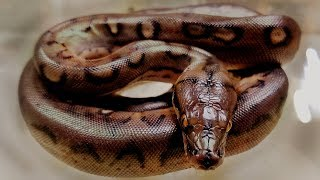 Download LAST RETIC EVER and it looks like an ANACONDA! worth the wait? Video
