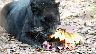 Download Thanksgiving Big Cat Style!! Video