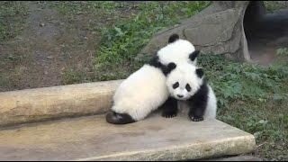 Download Giant Panda Twins Make Debut in southwest China Video