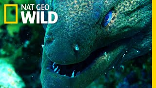 Download Moray Eel vs. Whitetip Reef Shark | Shark vs. Predator Video