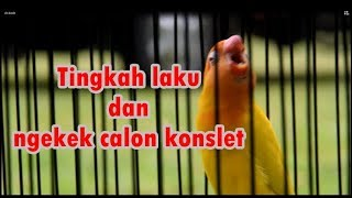 Download Calon Lovebird Konslet !! Video