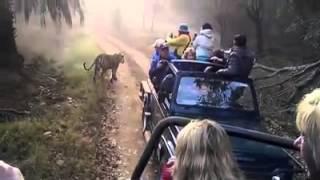 Download Ranthambore Jungle Safari - ranthambhorenationalpark.in Video